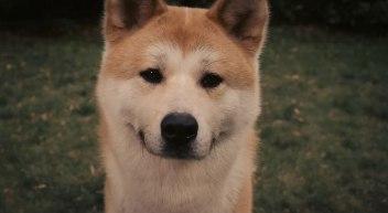 hachiko-chien-akita